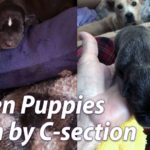 Rescue Puppies Born by C-Section