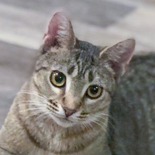 Adopt Villanelle the Cat