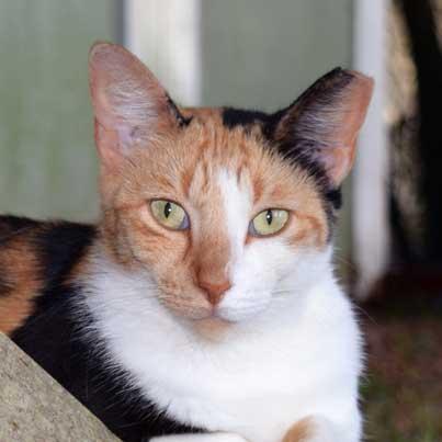 Cat Adoption Adopting a Cat With An Ear Tip